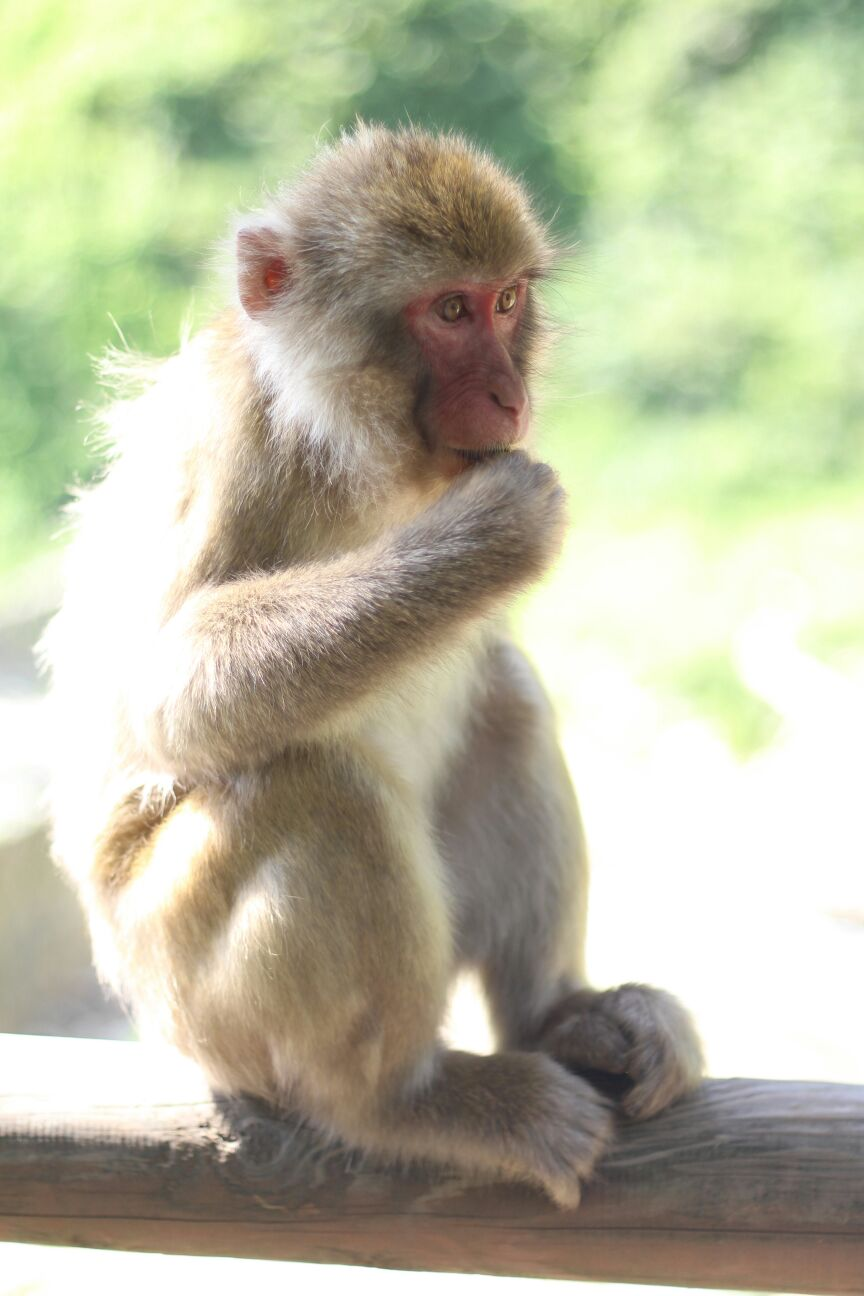 Snow Monkey in Summer on pole