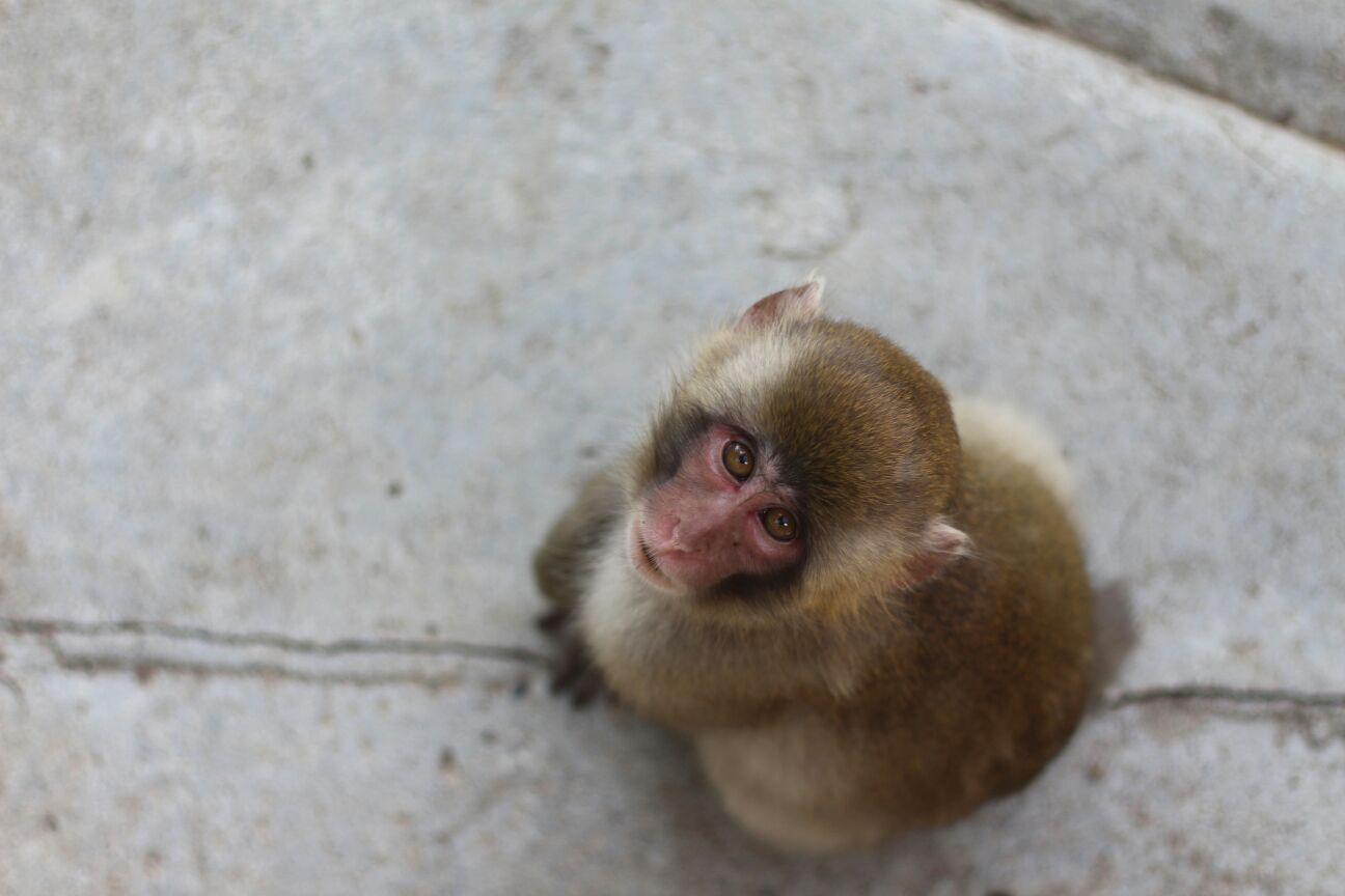 Monkey Looking up in Summer