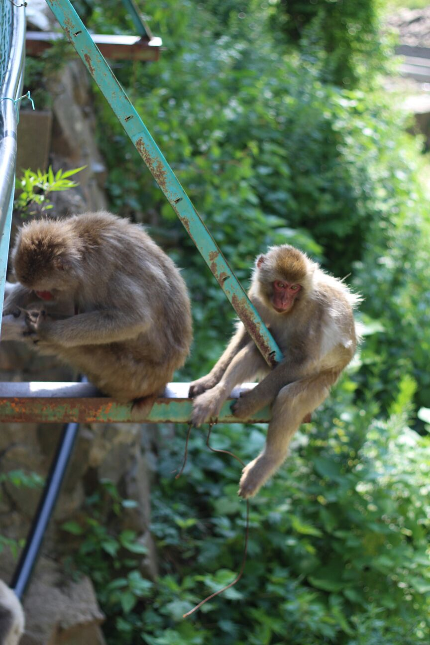 Hanging Monkey in Summer
