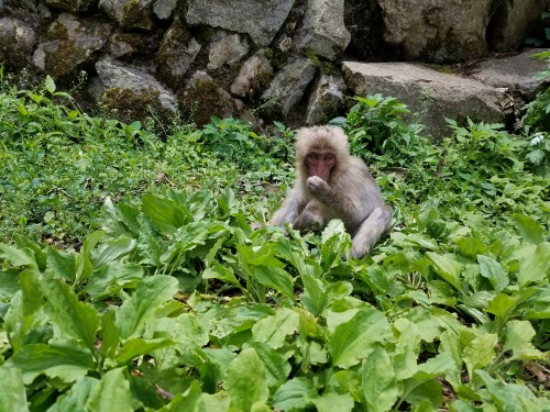 monkey eating leafs