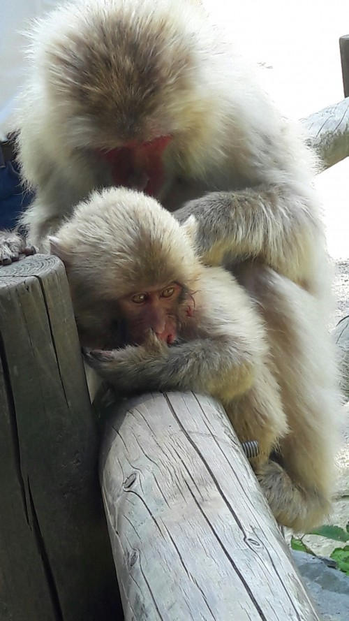 wounded monkey
