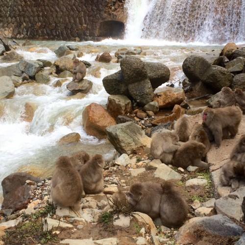 Monkey group next to river