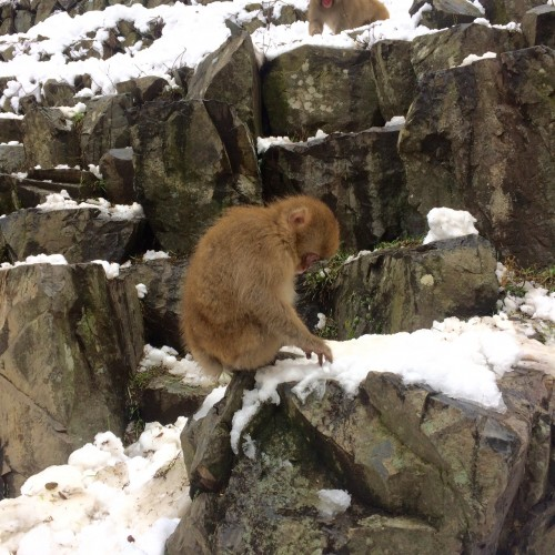 Young Monkey in snow