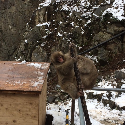 Young snow monkey playing