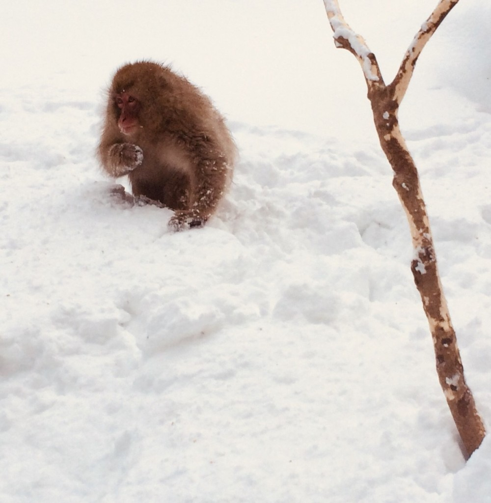 Snow Monkey in snow