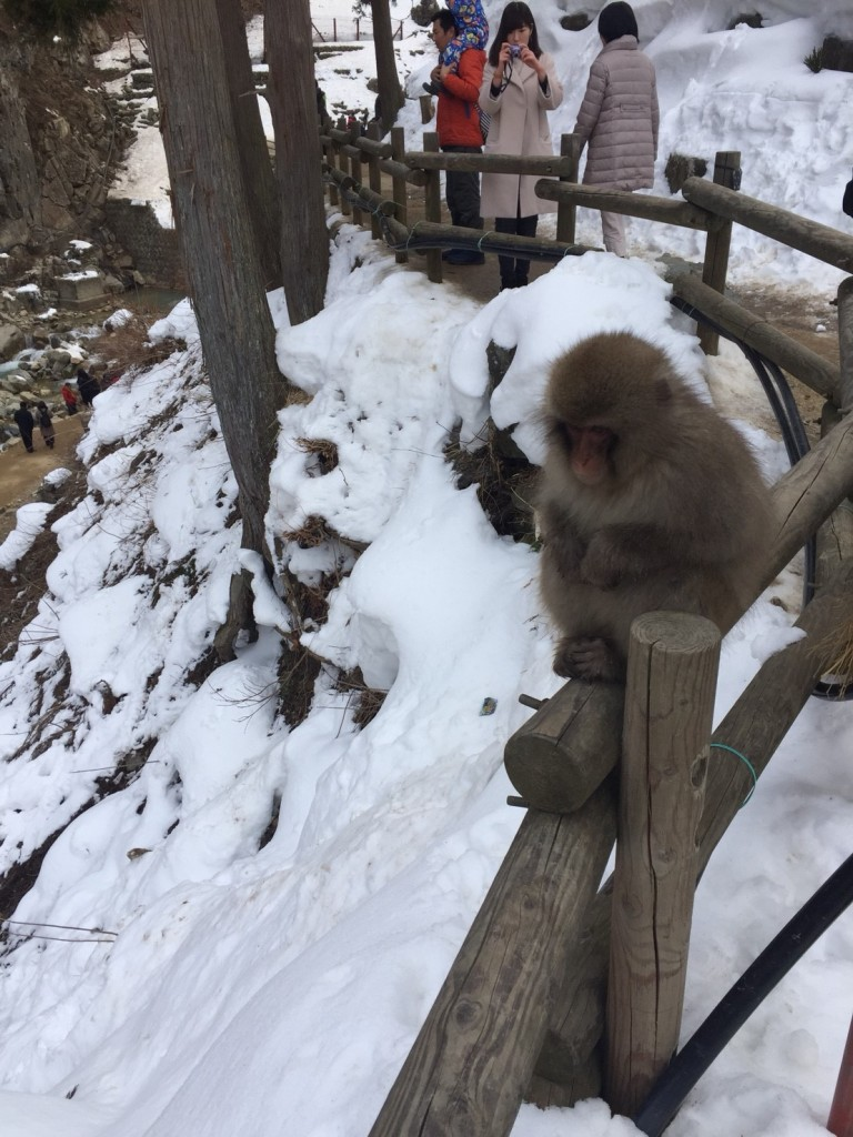 Snow Monkey in snow 3