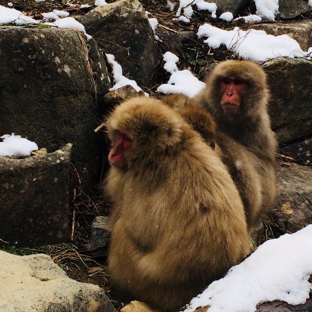Snow Monkeys in February