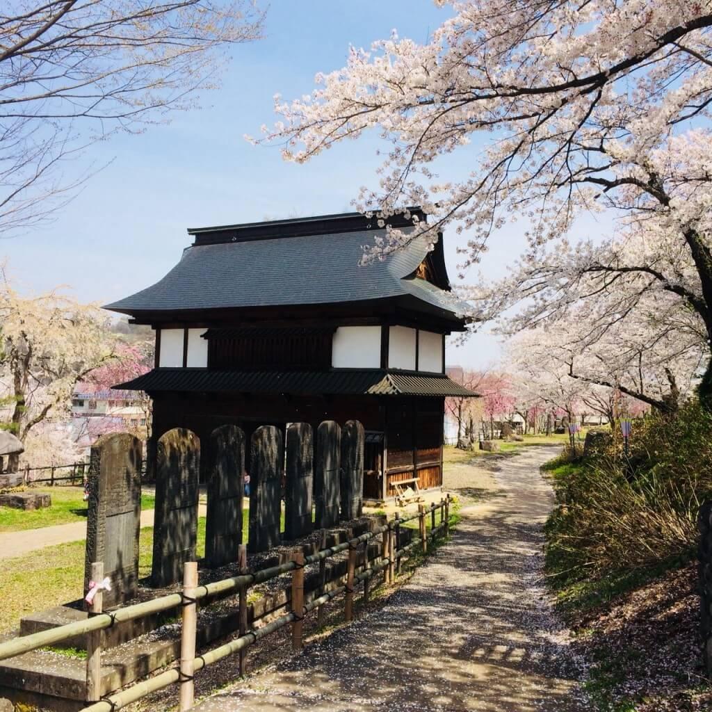 cherry-blossom-sakura-iiyama