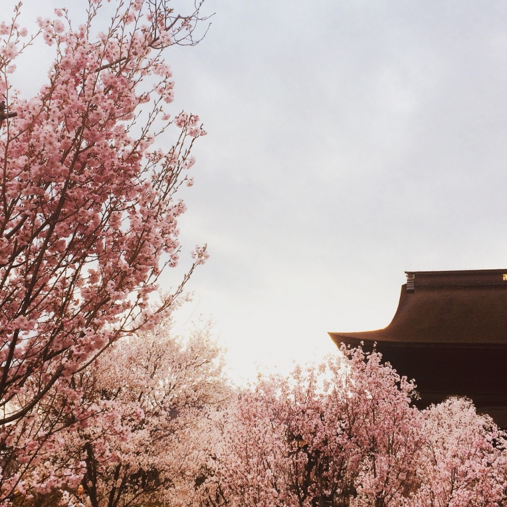 sakura at zenkoji