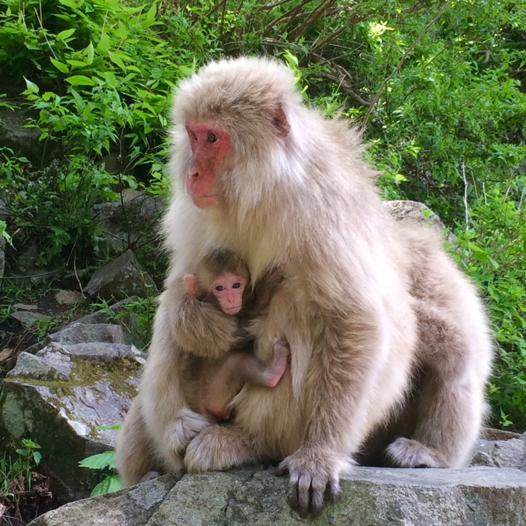 Snow Monkeys: Social Life & Status