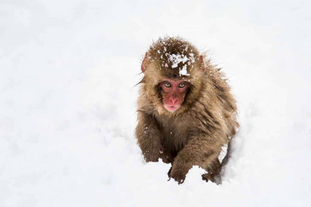 snow monkey baby with snow