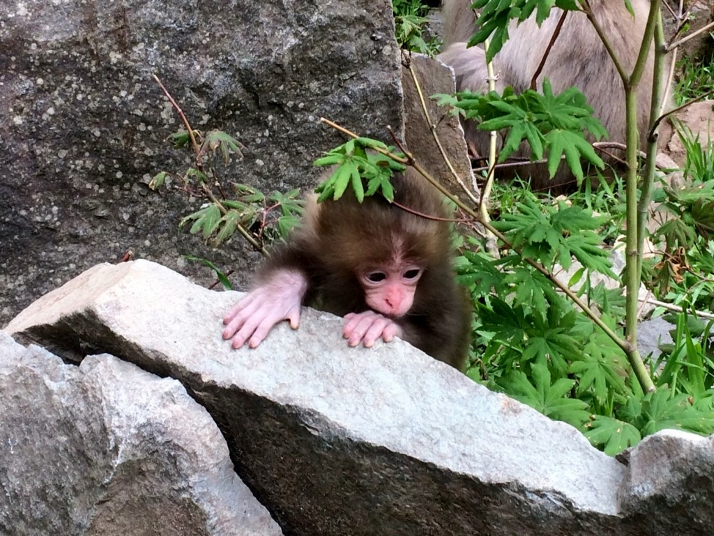 Snow Monkeys_180614_0252