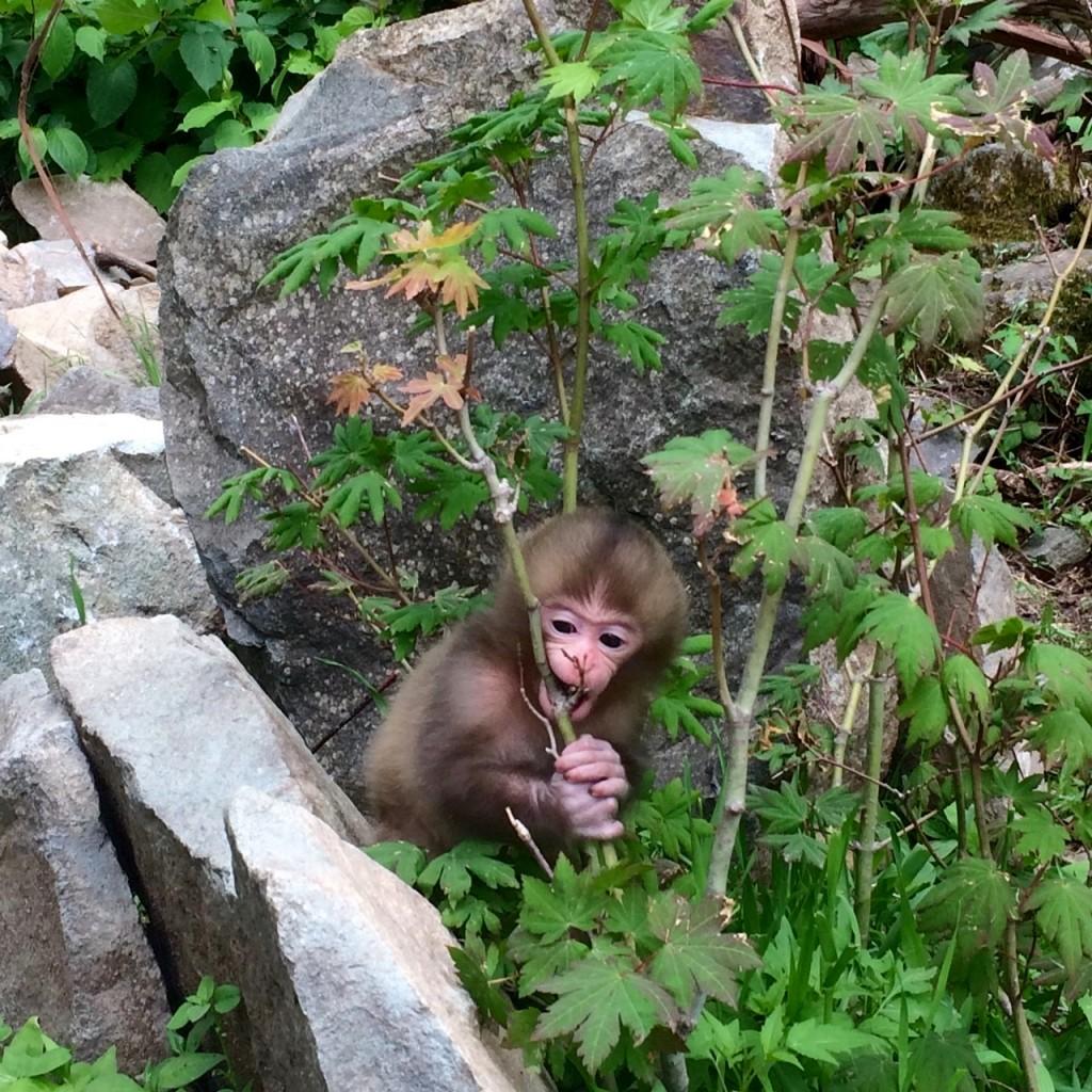 Snow Monkeys_180614_0254