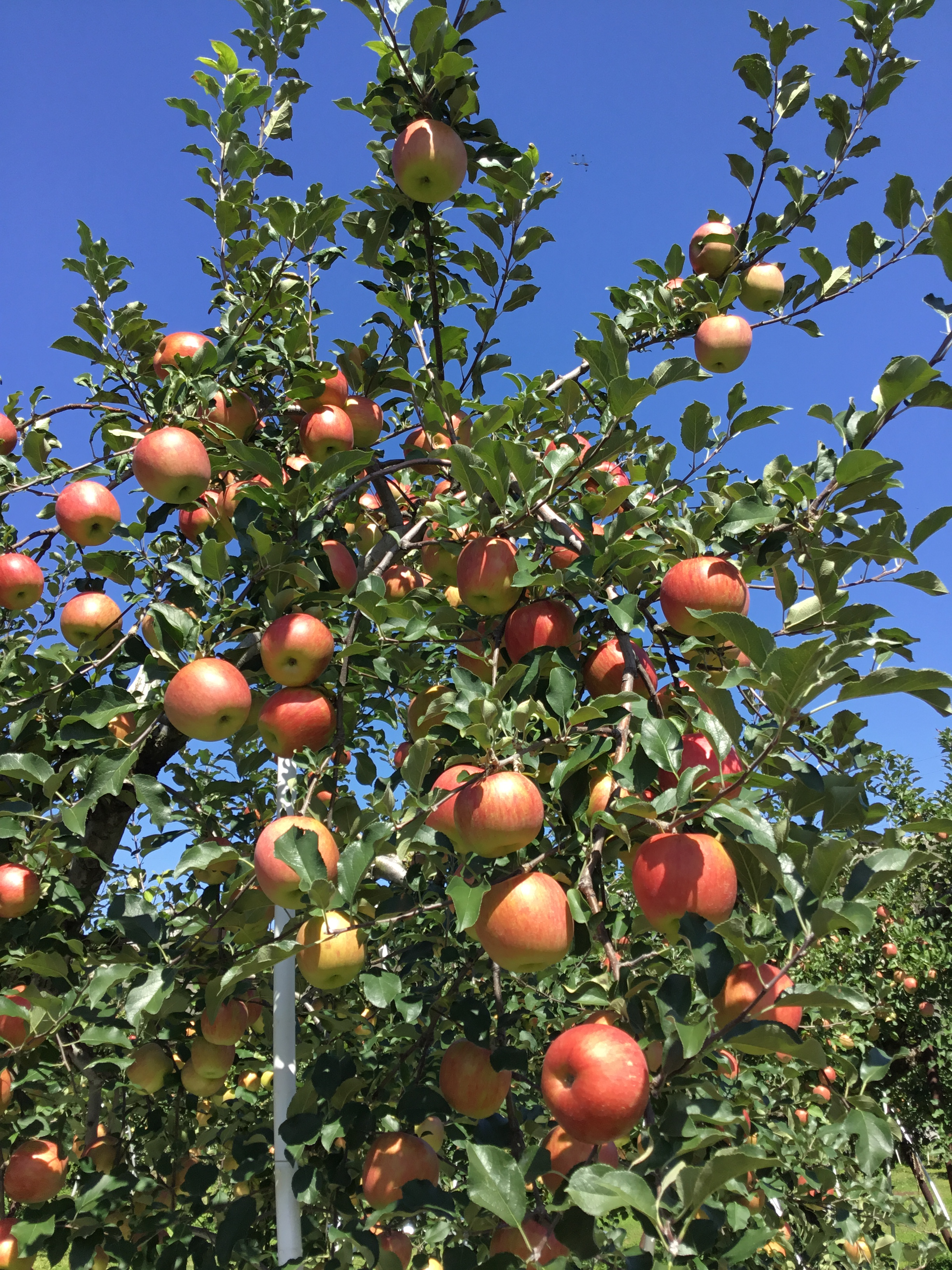 AUTUMN FRUIT-PICKING IN NAGANO: 6 APPLE VARIETIES, ALL YOU CAN EAT ...