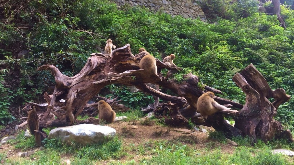 Snow Monkeys_180918_0352
