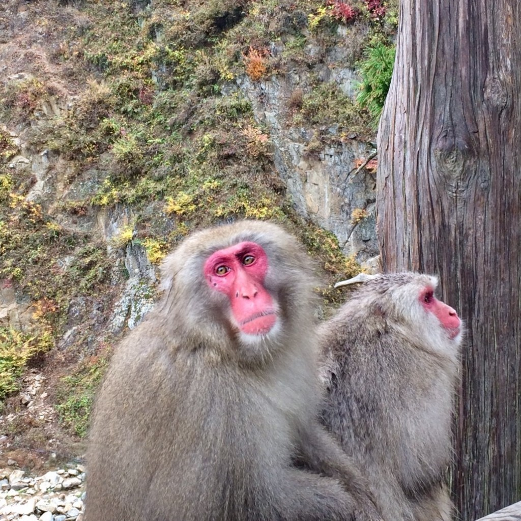 Snow Monkeys_181117_0398