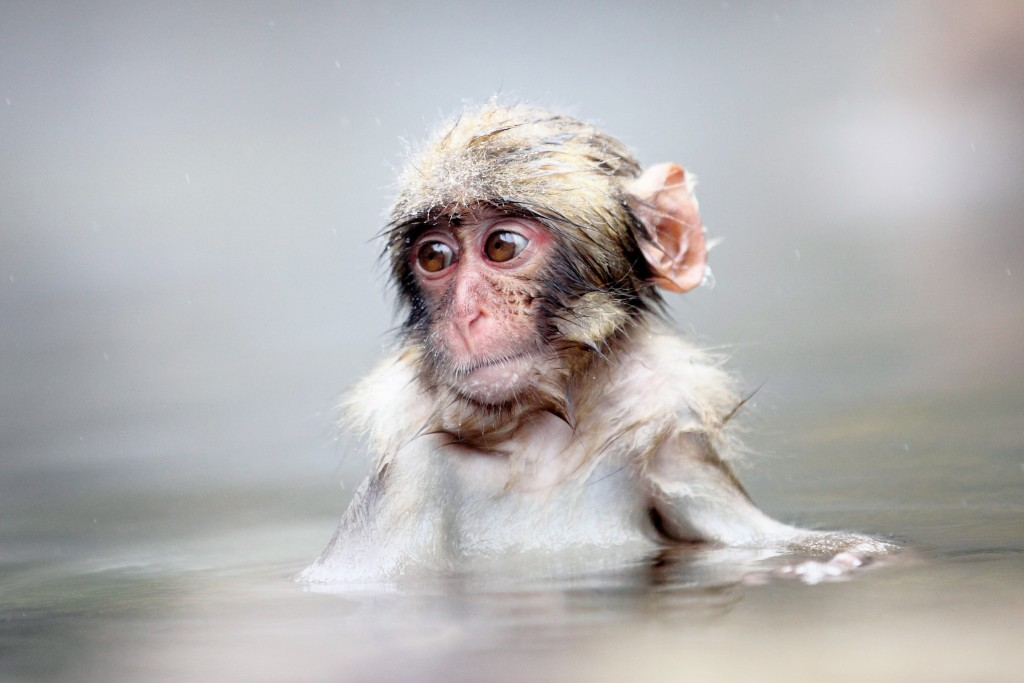 Bathing Baby Monkey in a Hot Spring