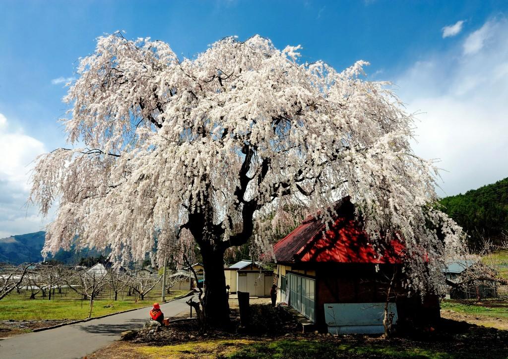 cherry-blossom-sakura-matsukawa