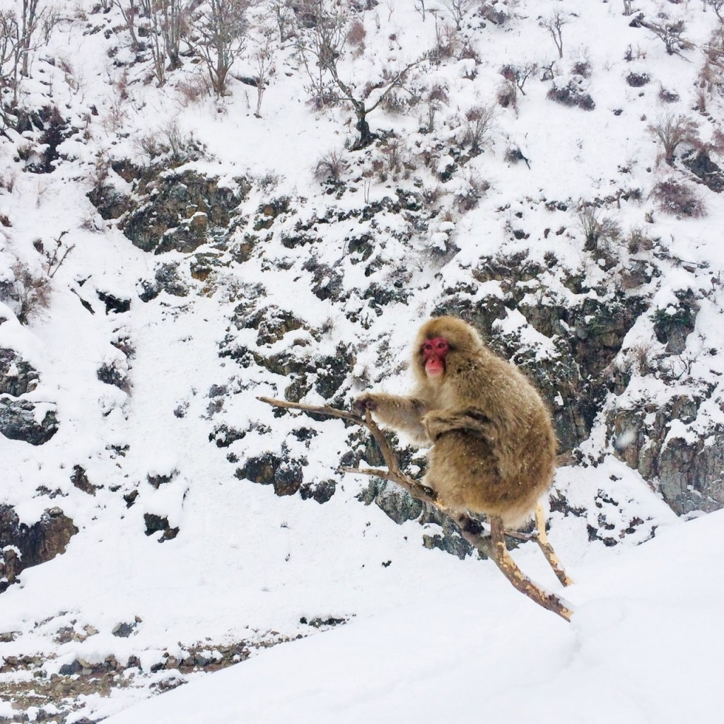 Snow Monkeys_190217_0435