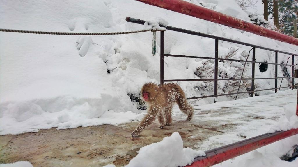 Snow Monkeys_190315_0454