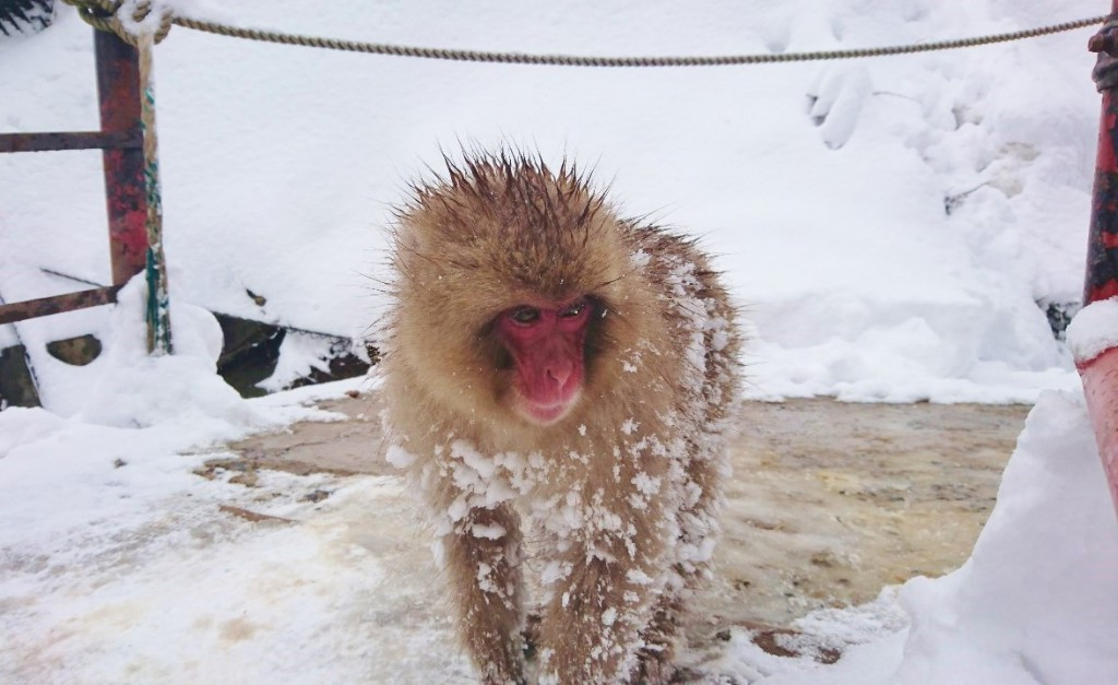 Snow Monkeys_190315_0455