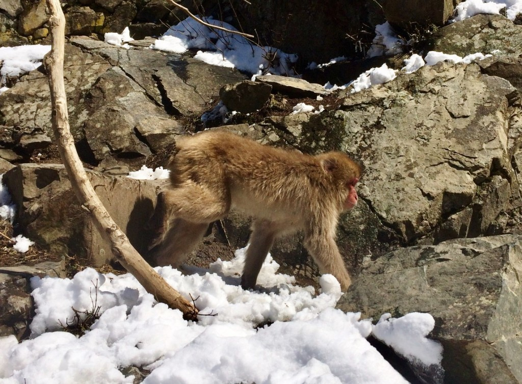 Snow Monkeys_190315_0461