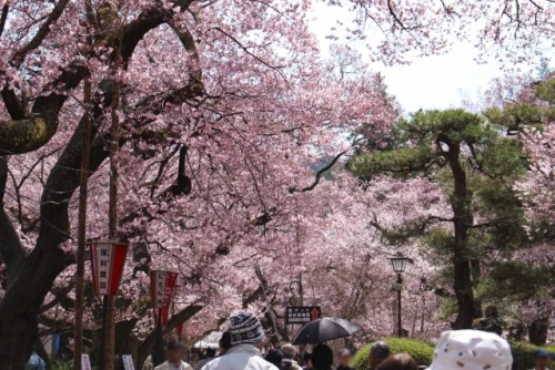 Takato Castle Park Cherry Blossoms 2