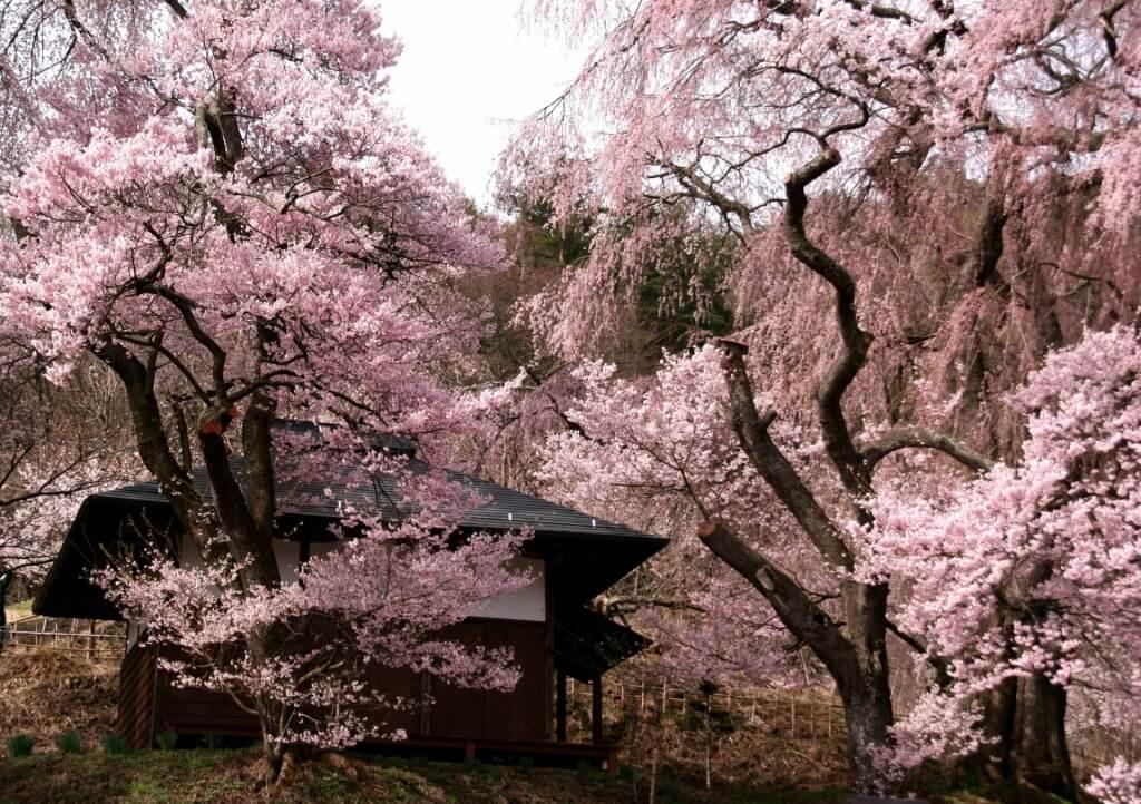 Takato Castle Park Cherry Blossoms 3