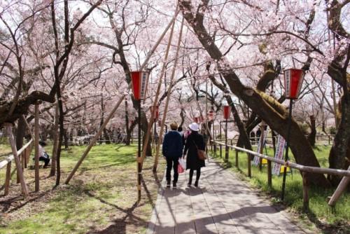 Takato Castle Park Cherry Blossoms 4