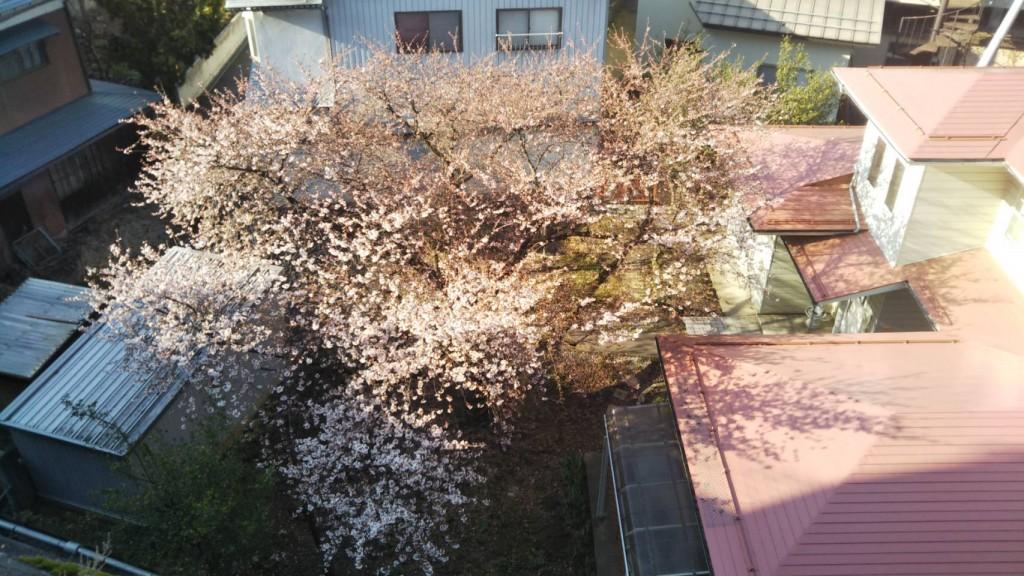 Cherry Blossoms Apr 20