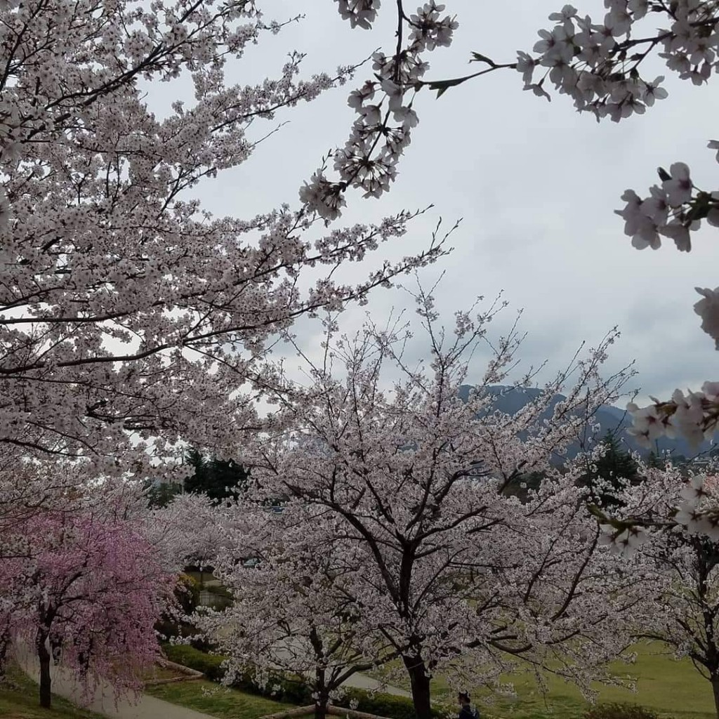 Cherry Blossoms Apr 20 Nagano 2