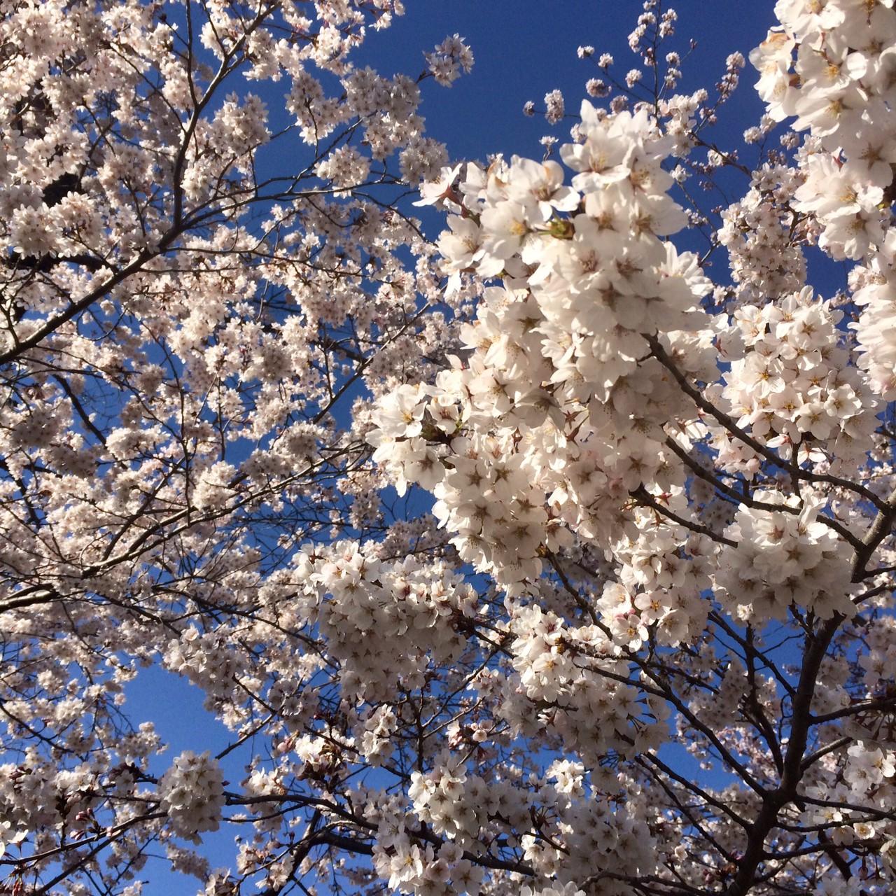 长野市樱花景色