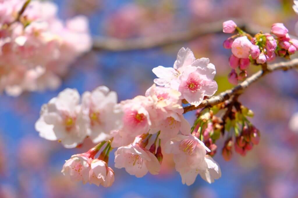 長野市櫻花景色