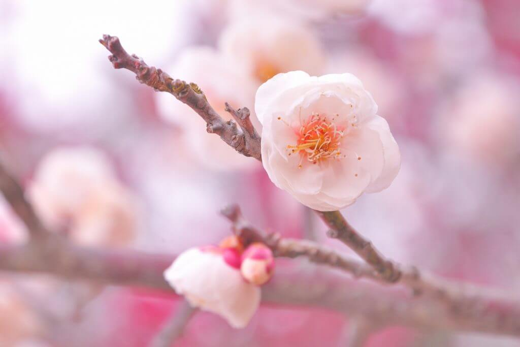 The Importance of 'Sakura' & 'Hanami' in Japan