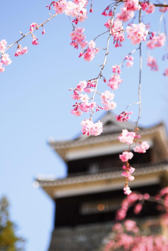 cherry-blossom-sakura-ueda