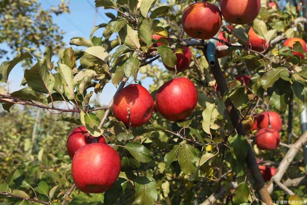 azumino-apples