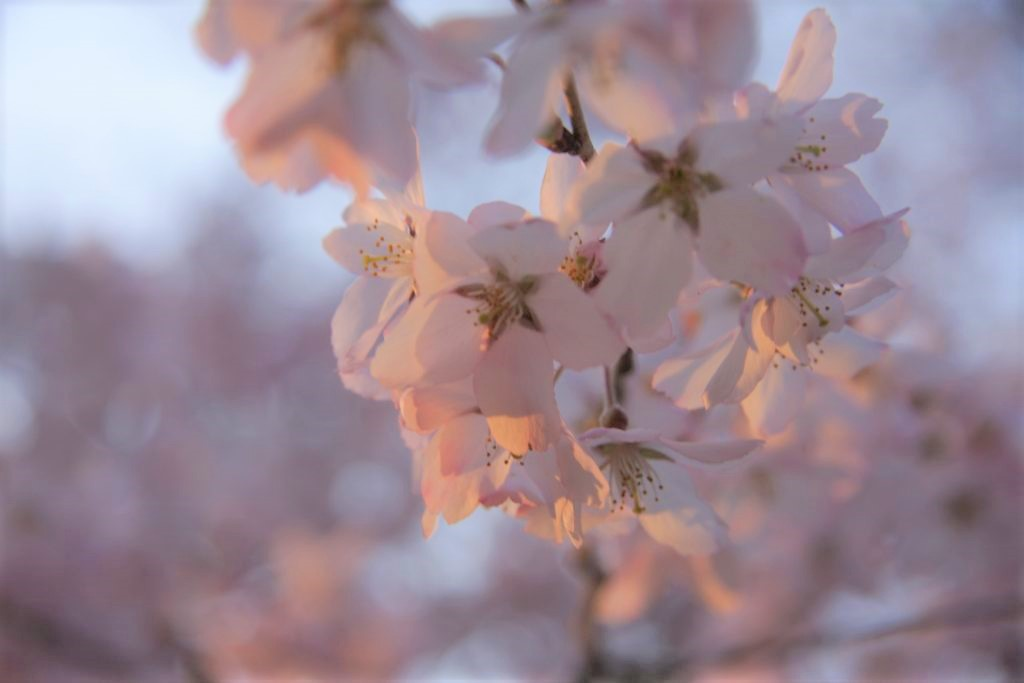 The Importance of Cherry Blossoms in Japan