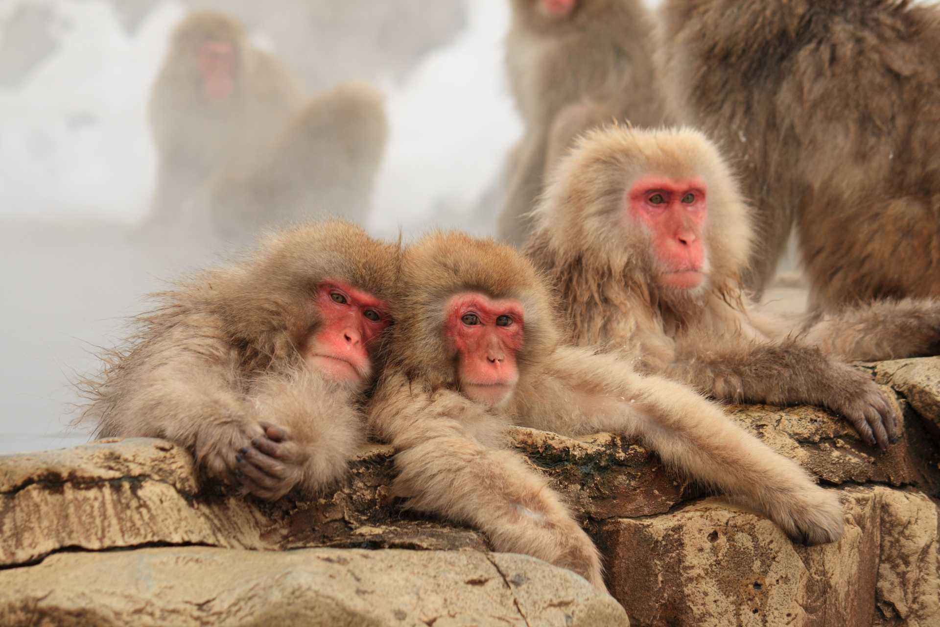 Experience the World-famous Monkeys of Jigokudani