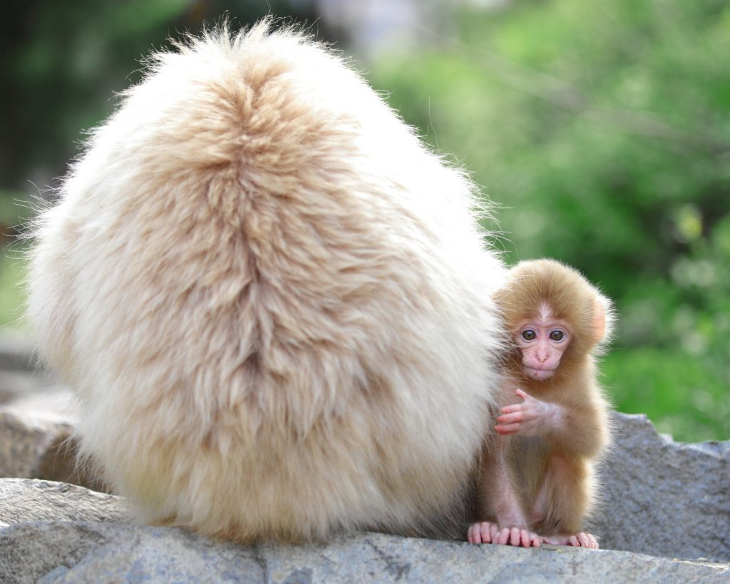 snow-monkey-baby-jigokudani