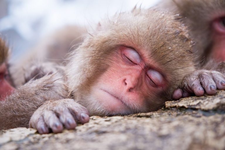 Visit the Snow Monkeys of Jigokudani