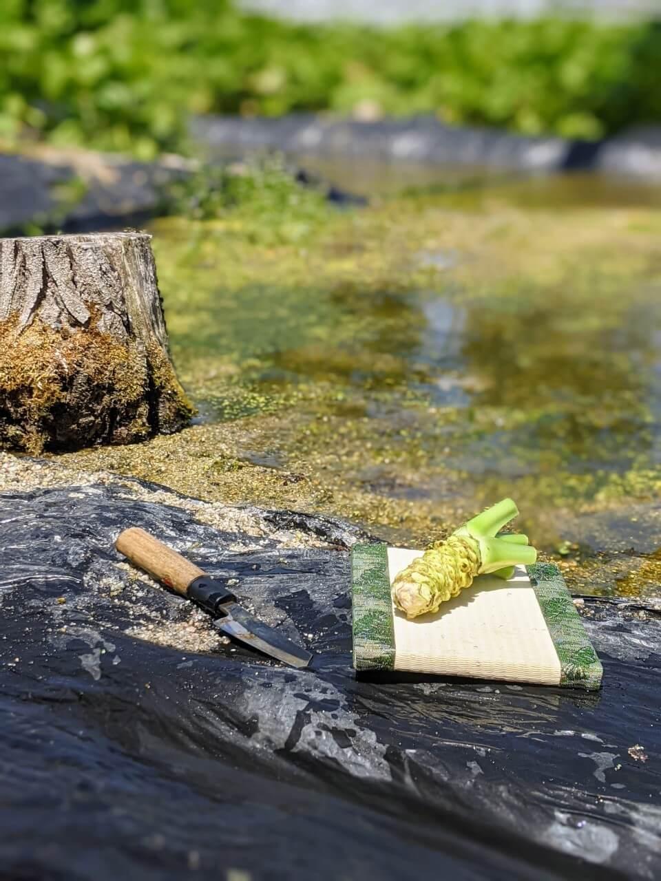kamikochi-tour-wasabi-picking