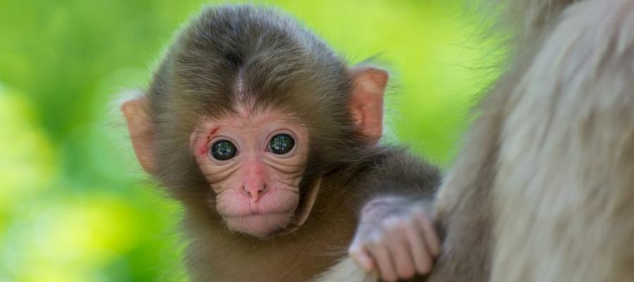 jigokudani-monkey-baby