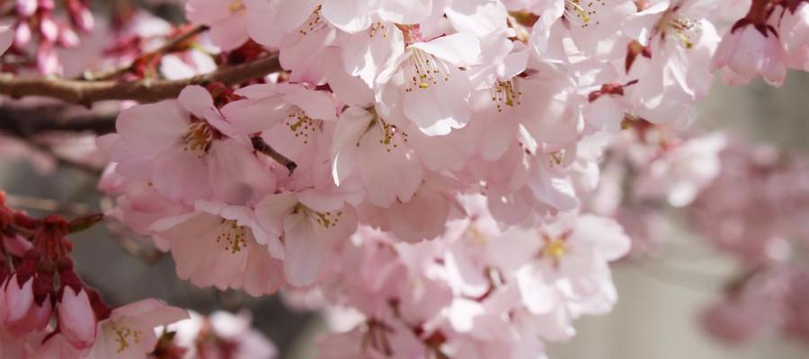 cherry_blossom_top