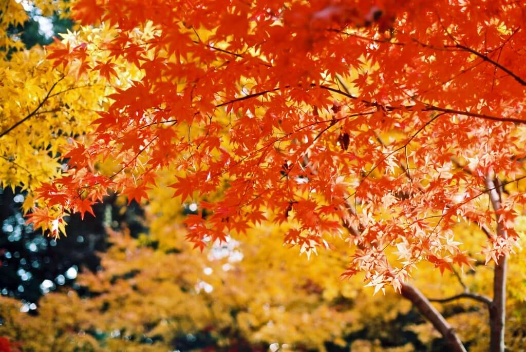 autumn-leaves-koyo-togakushi