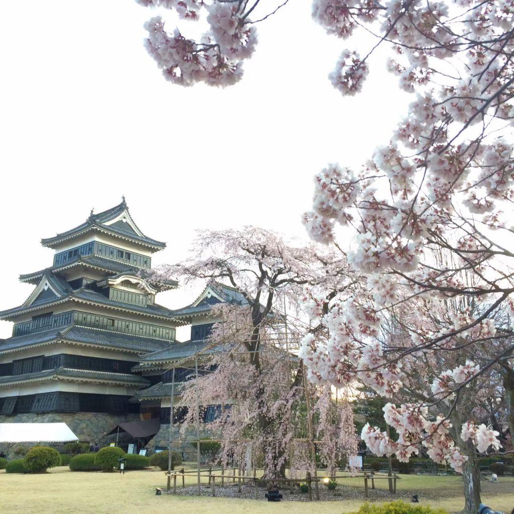 matsumoto-castle-cherry-blossom-sakura
