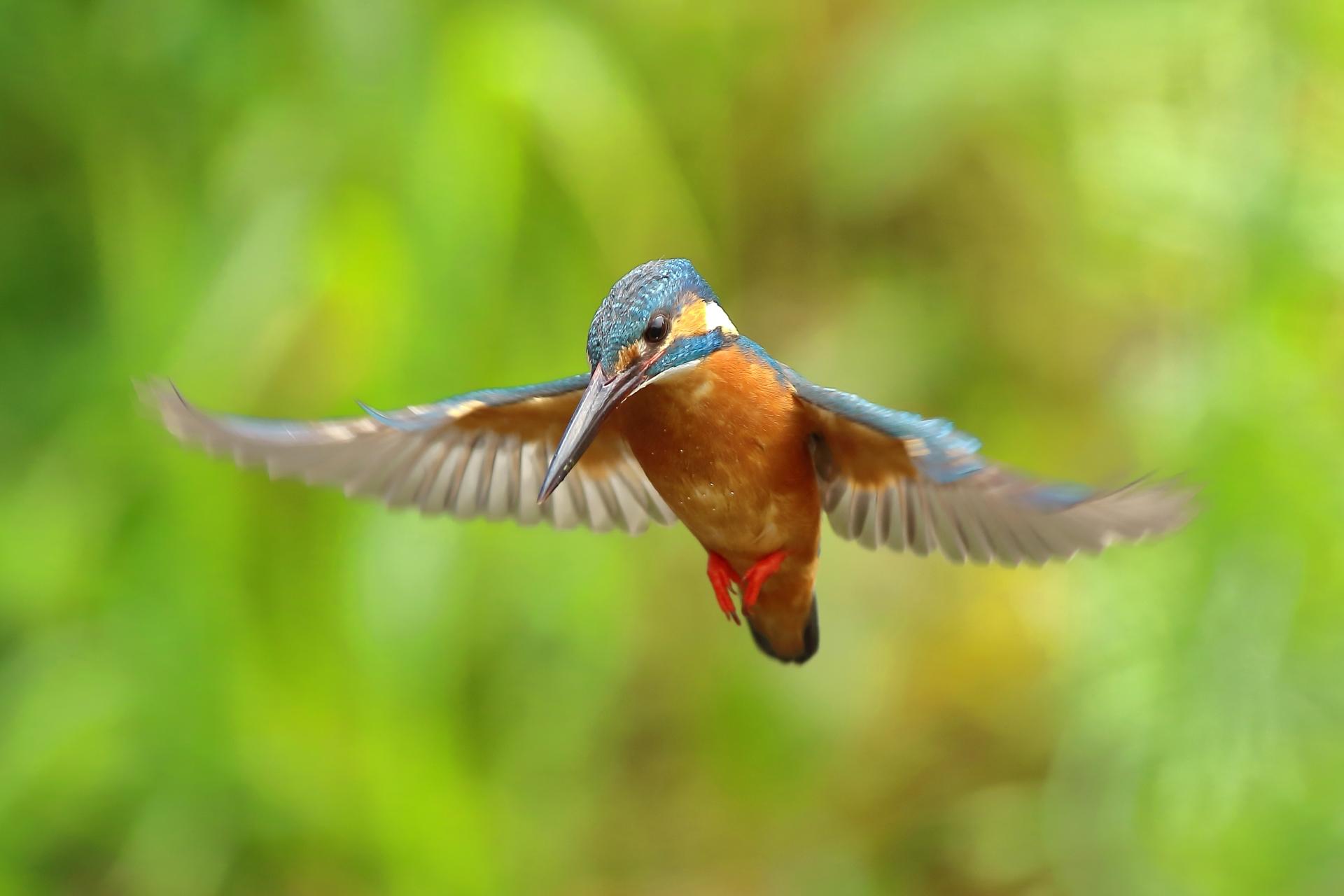 matsunoyama-kyororo-kingfisher