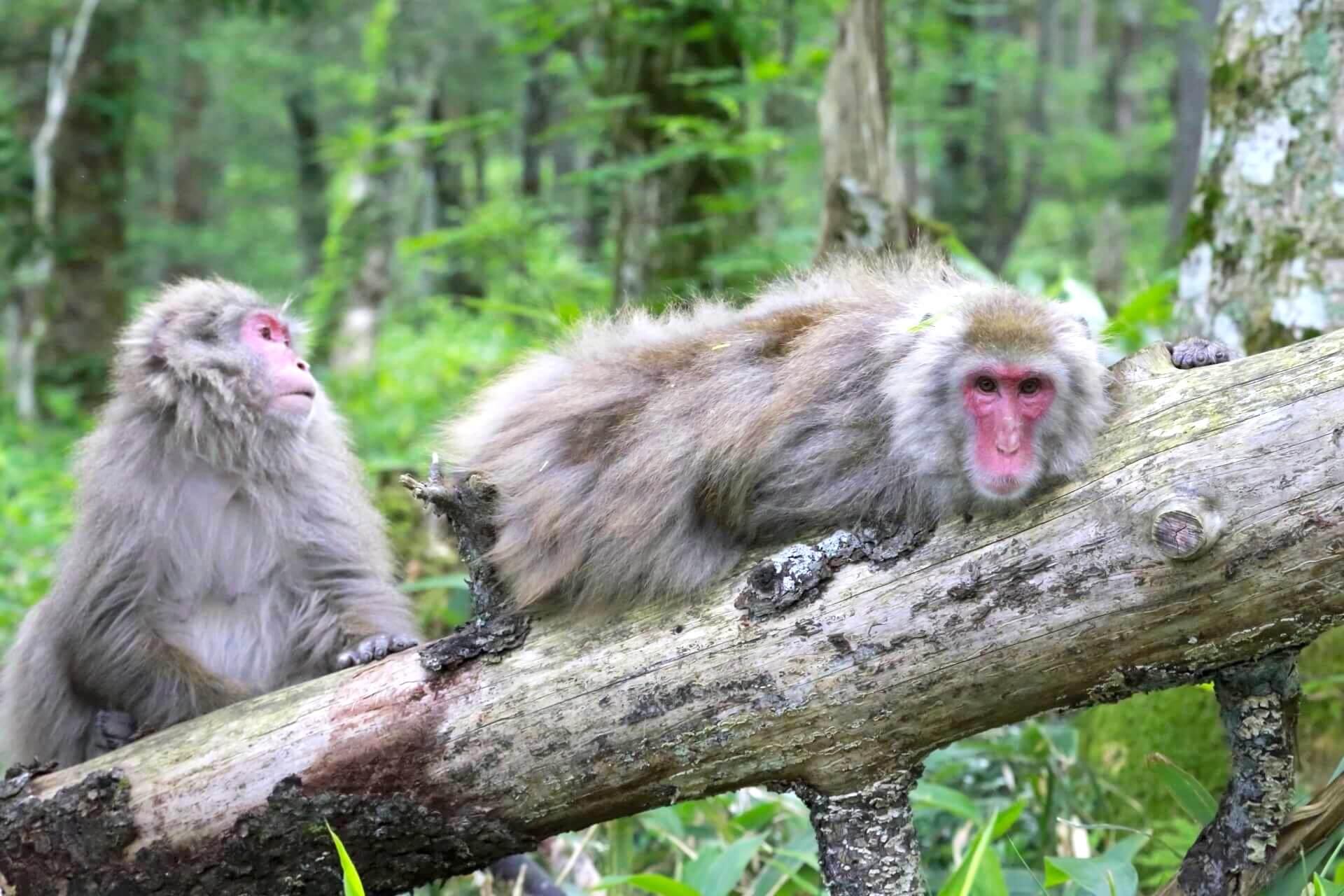 kamikochi-monkey
