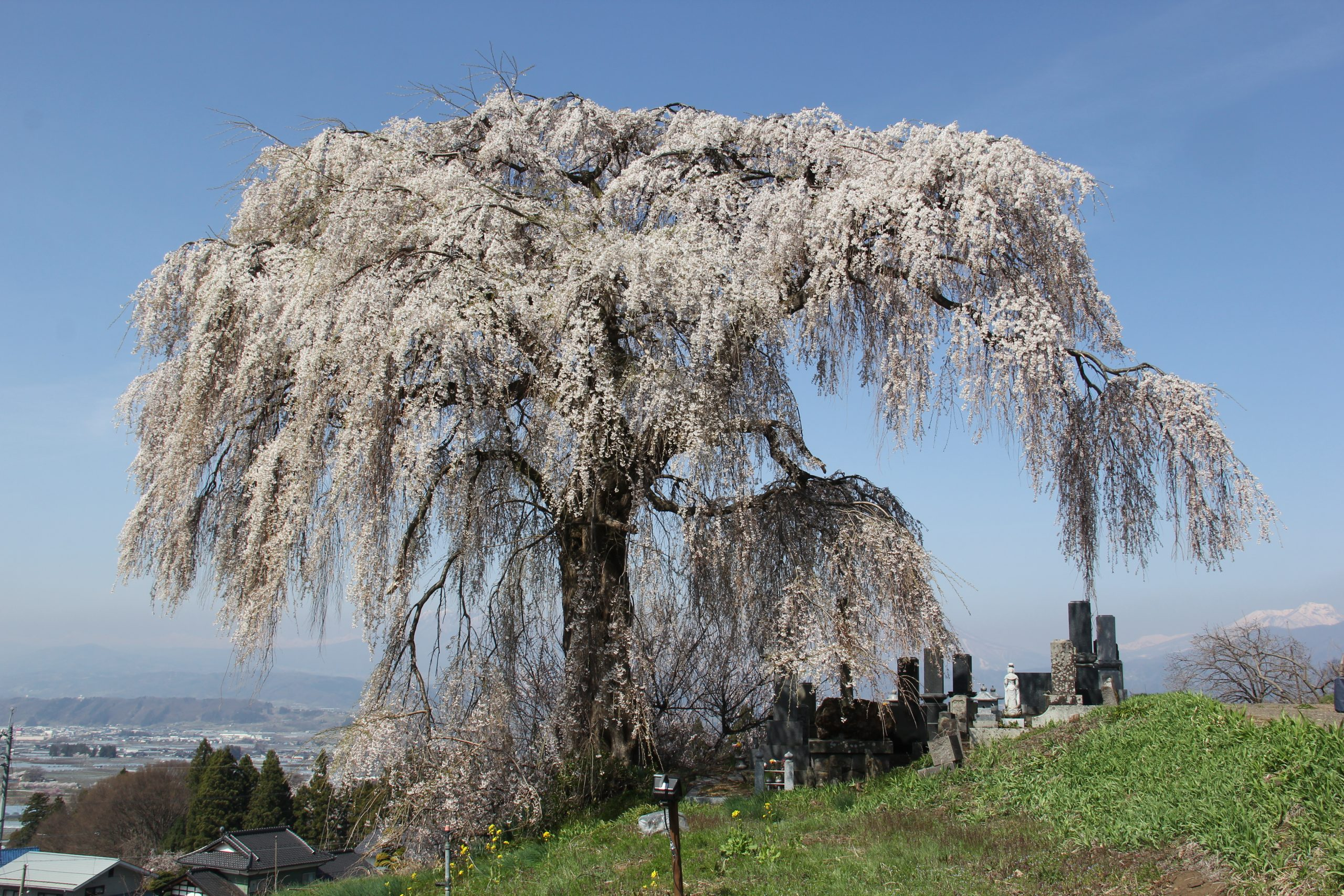 ookubo-cherry-blossom-yamanouchi