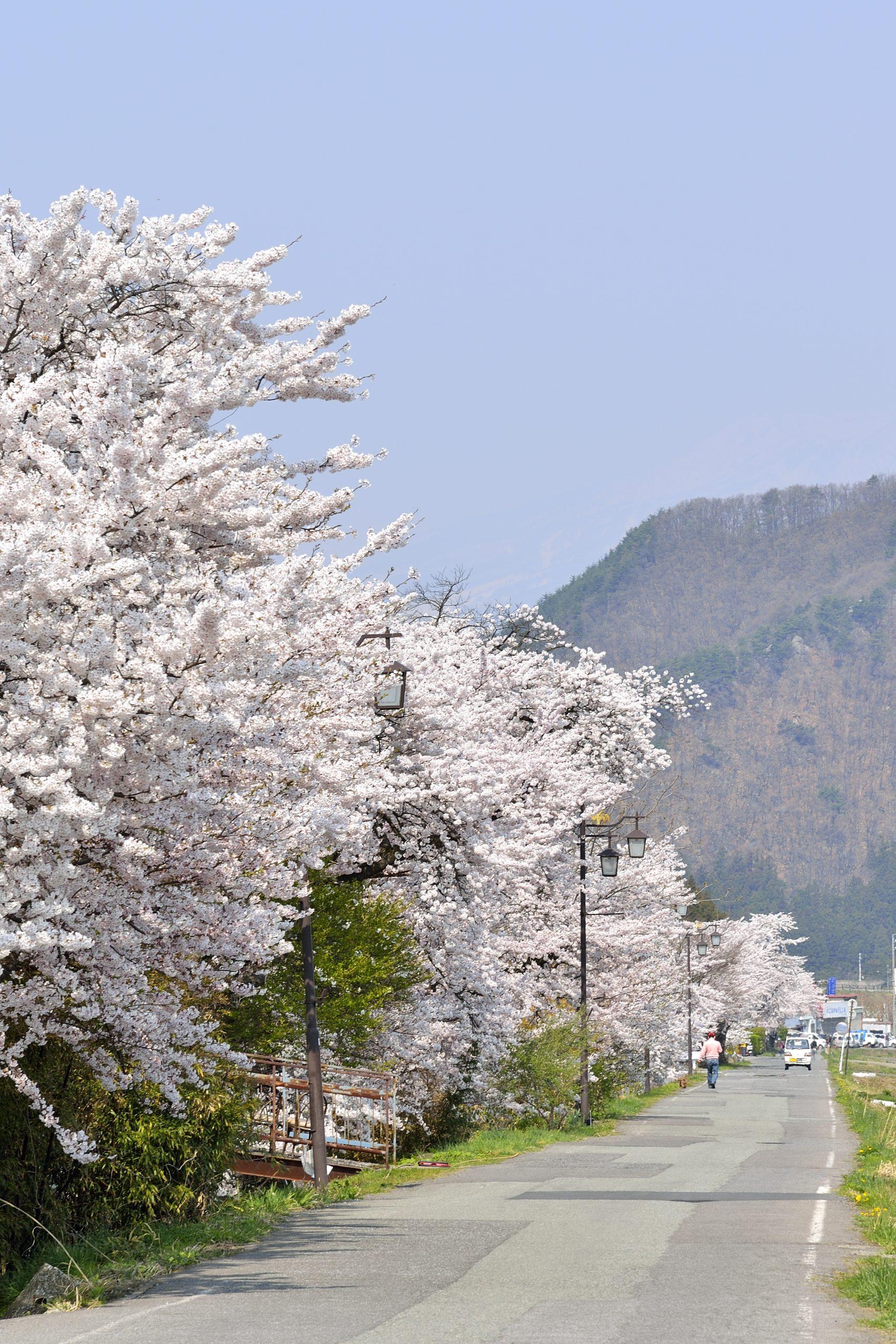 yudanaka-onsen-cherry-blossom-yamanouchi