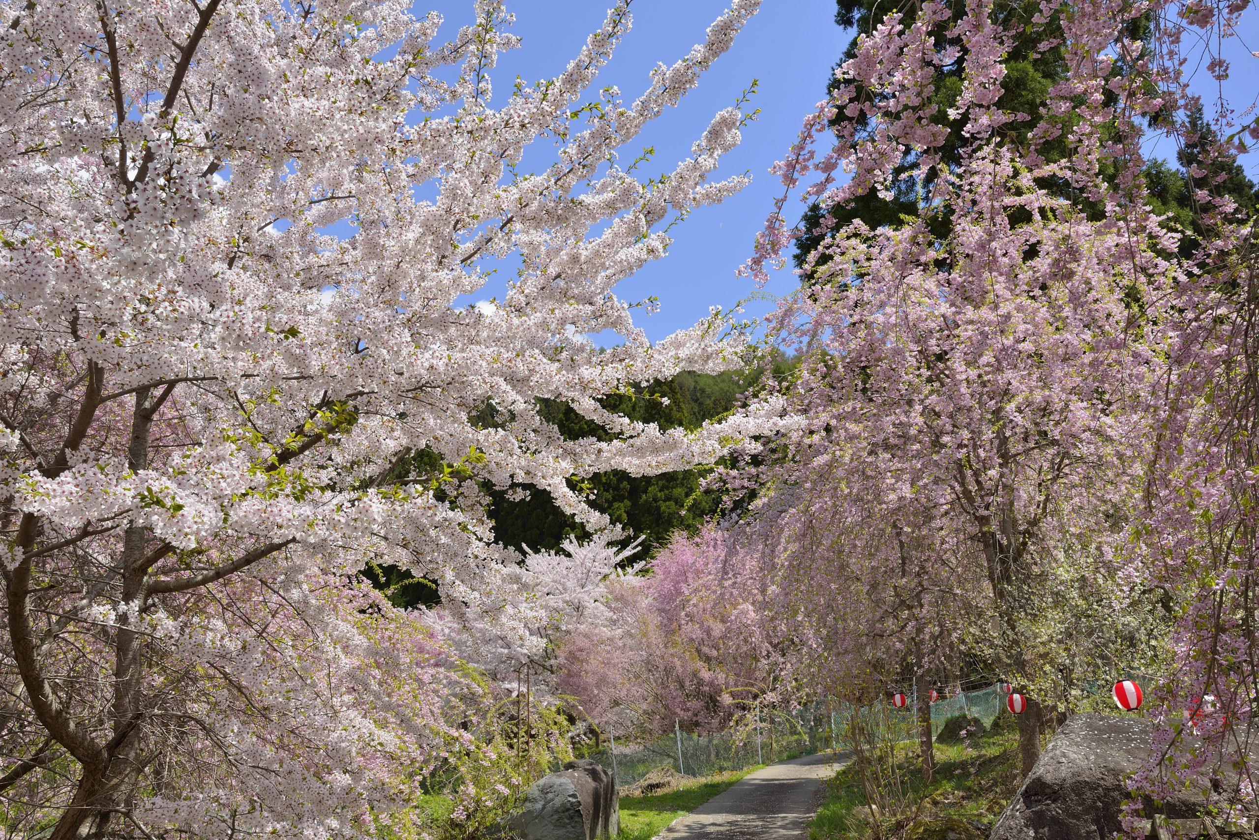 benihidare-yaezakura-cherry-blossom-yamanouchi